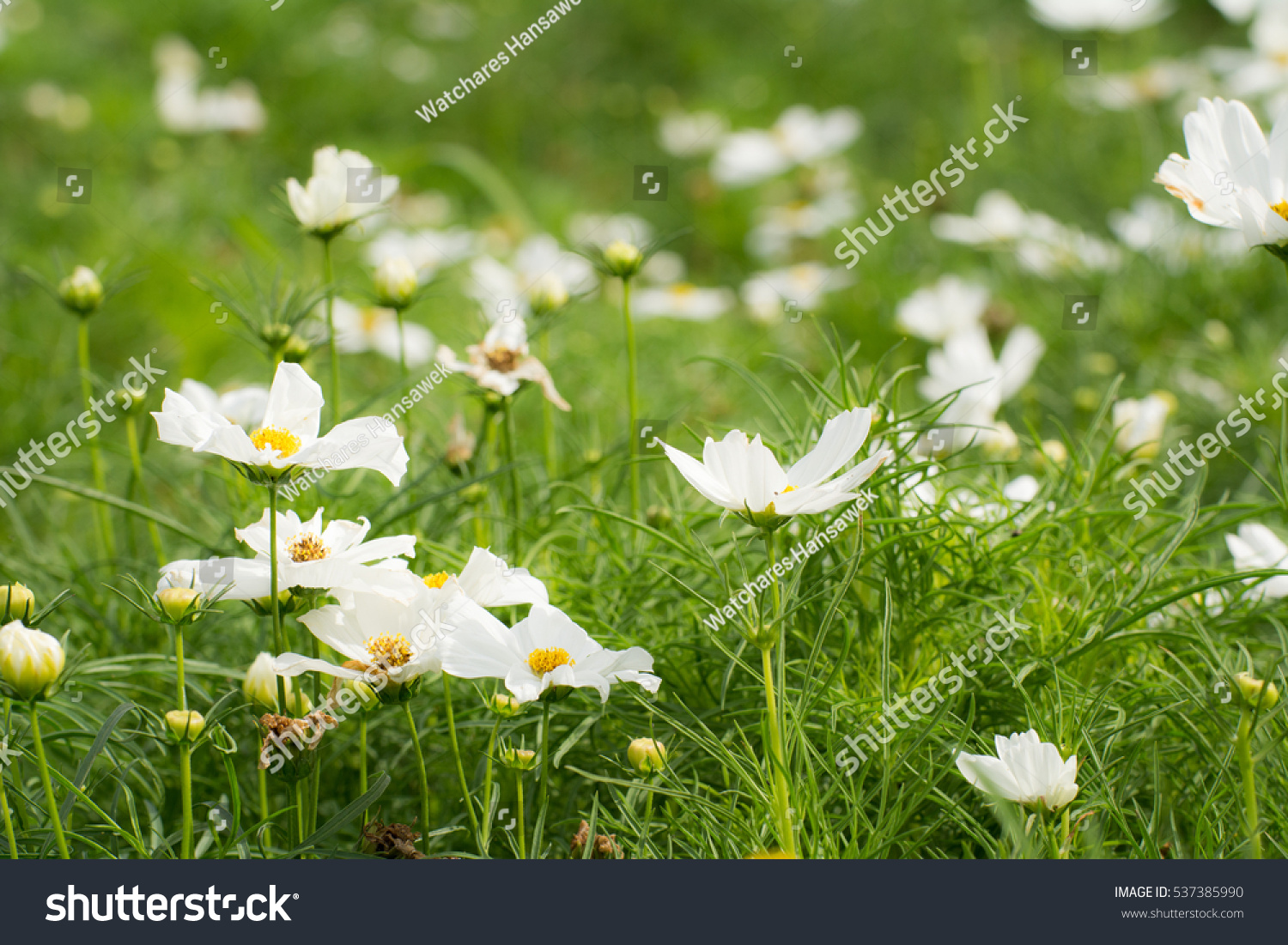 White Flowers On Green Grass Grass Stock Photo Royalty Free