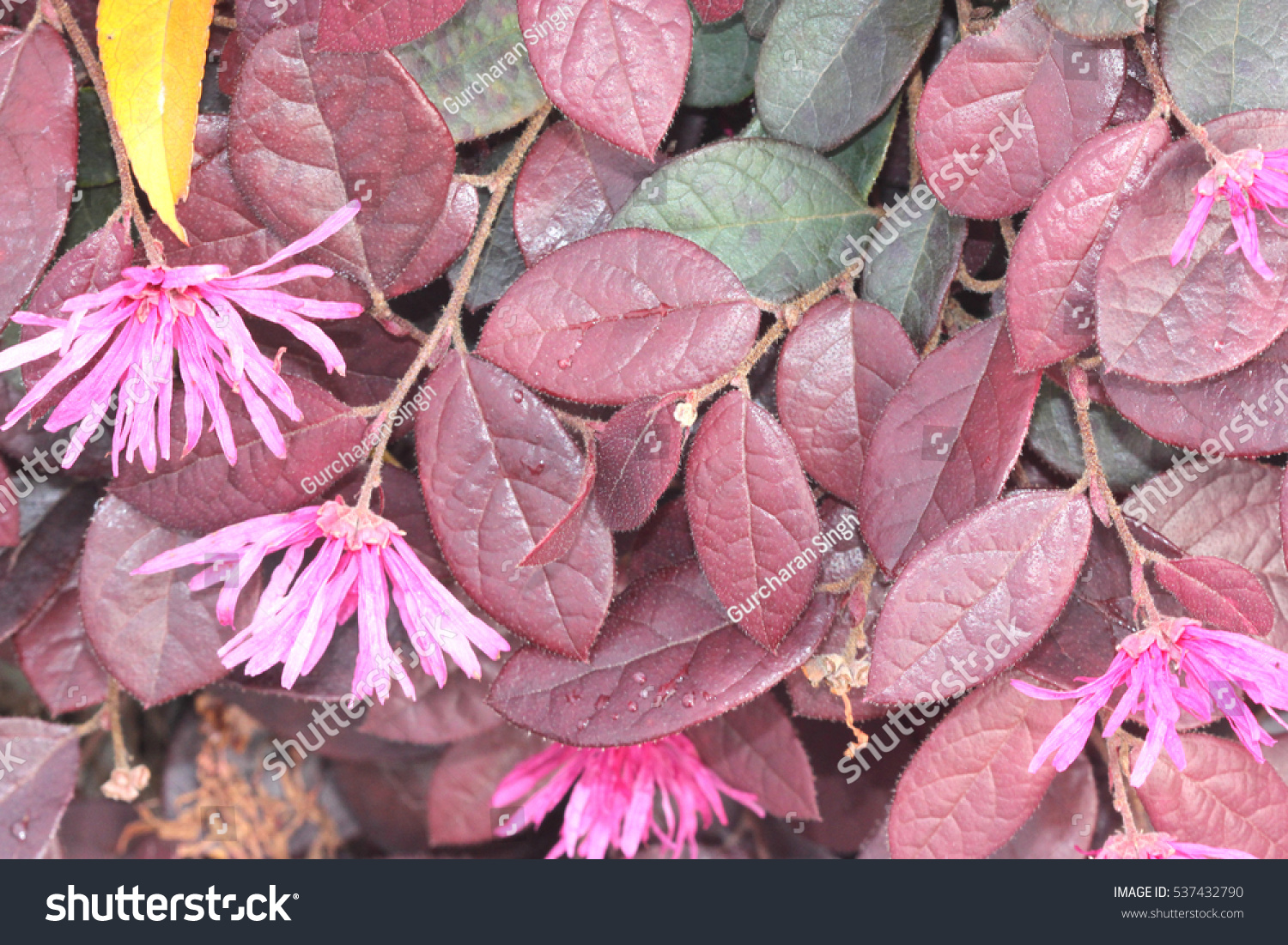 Loropetalum Chinense Rubrum Chinese Pink Pink Stock Photo Edit Now