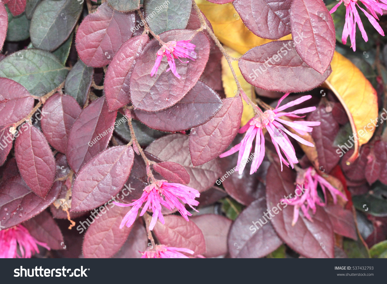 Loropetalum Chinense Rubrum Chinese Pink Pink Stock Photo Edit Now