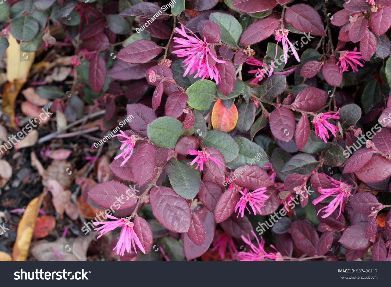 Loropetalum Chinense Rubrum Chinese Pink Pink Stock Photo Royalty