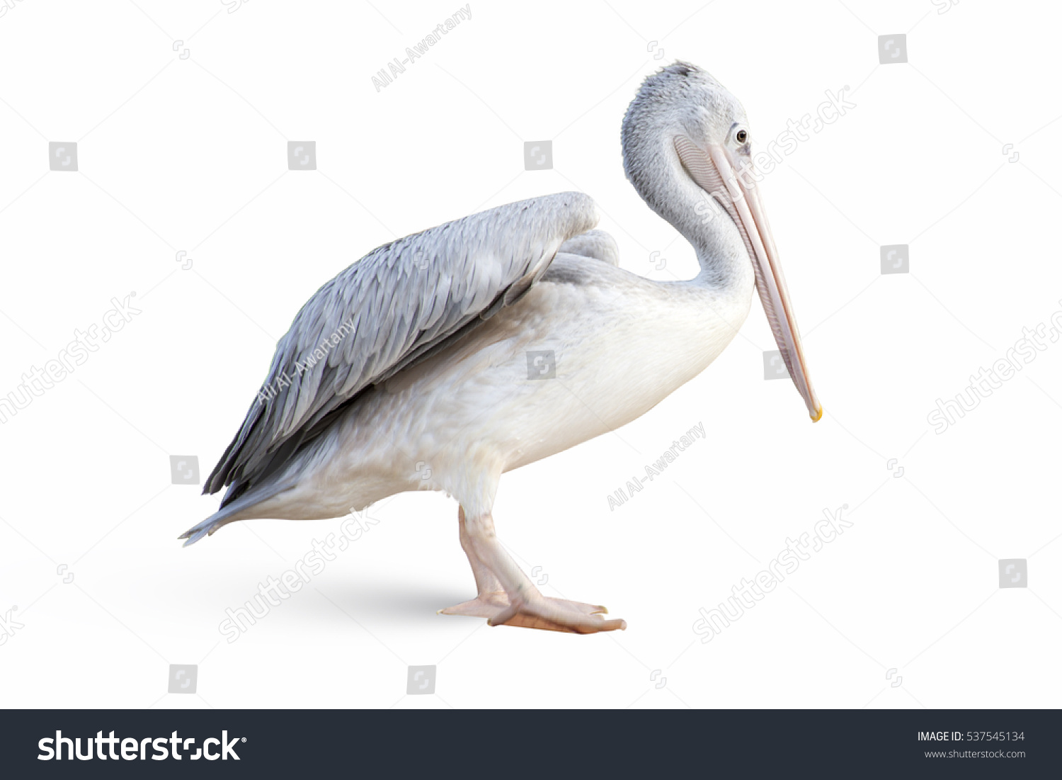 stock-photo-pelican-isolated-on-white-53