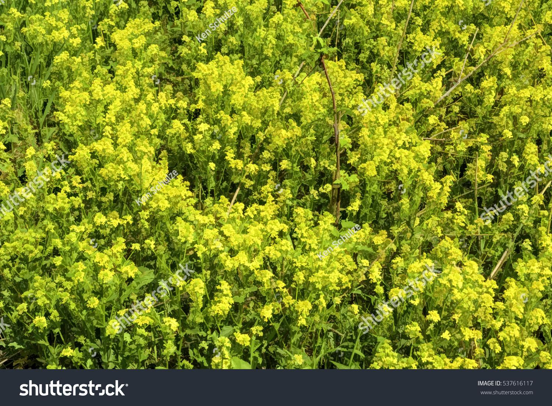 White mustard - siderat. White mustard as a fertilizer 20