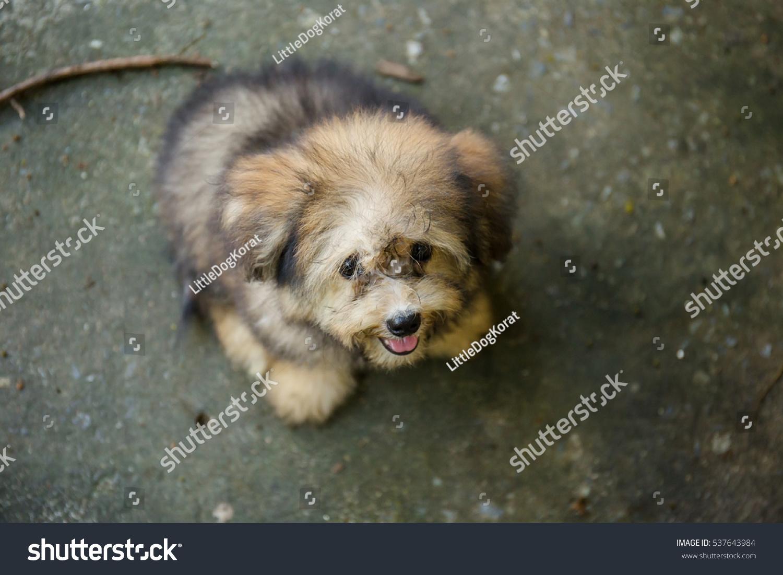 Shih Tzu Mix Pomeranian Puppy Dog Stock Photo Edit Now 537643984