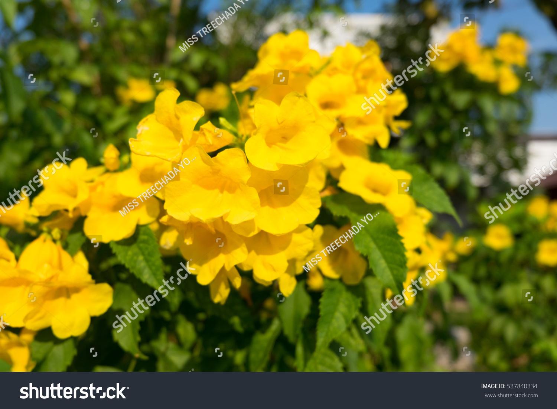 Yellow Flowers Thailand Blooming Yellow Bell Yellow Stock Photo