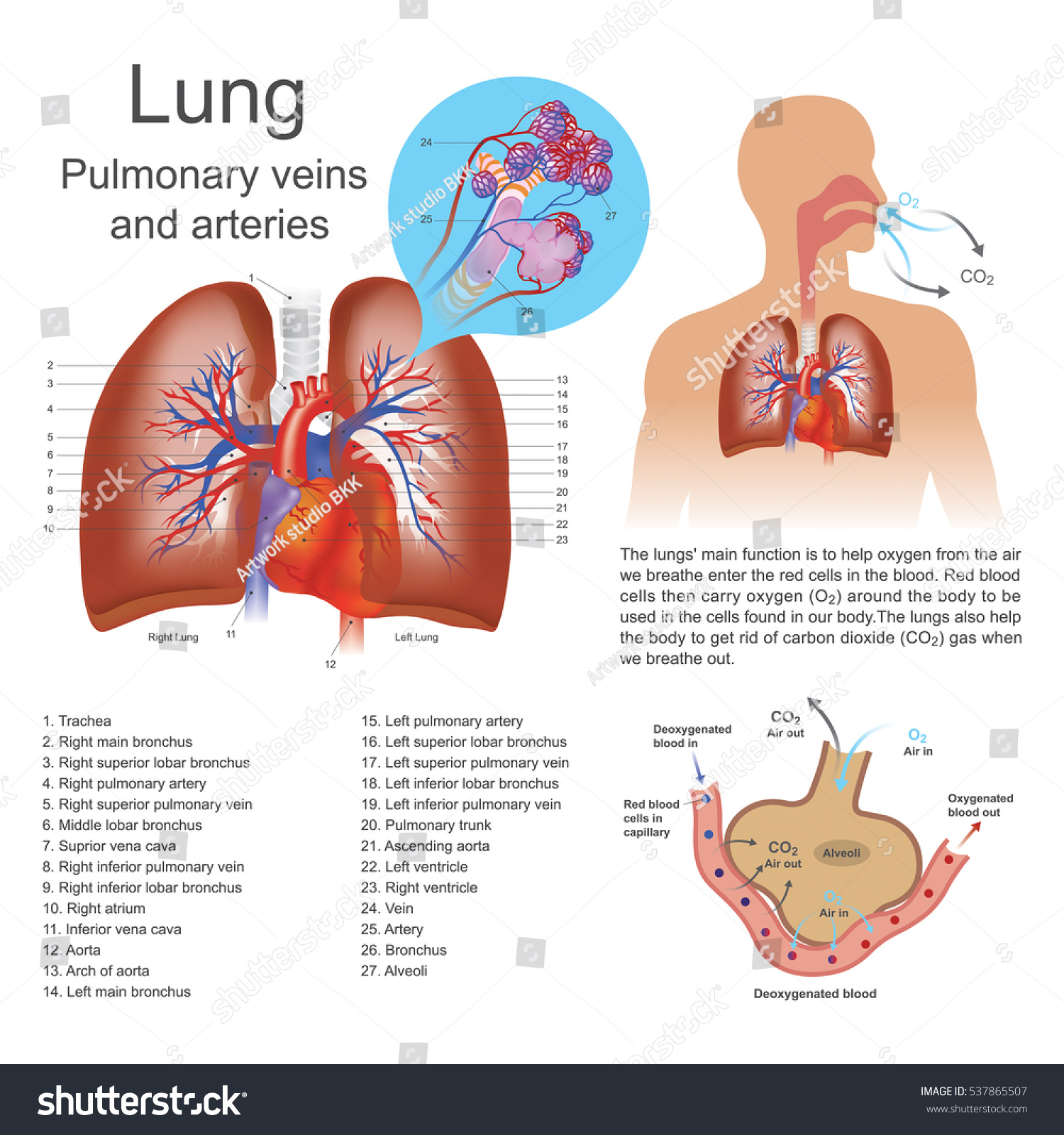 Lungs Primary Organs Respiration Humans Many Stock Vector (Royalty ...