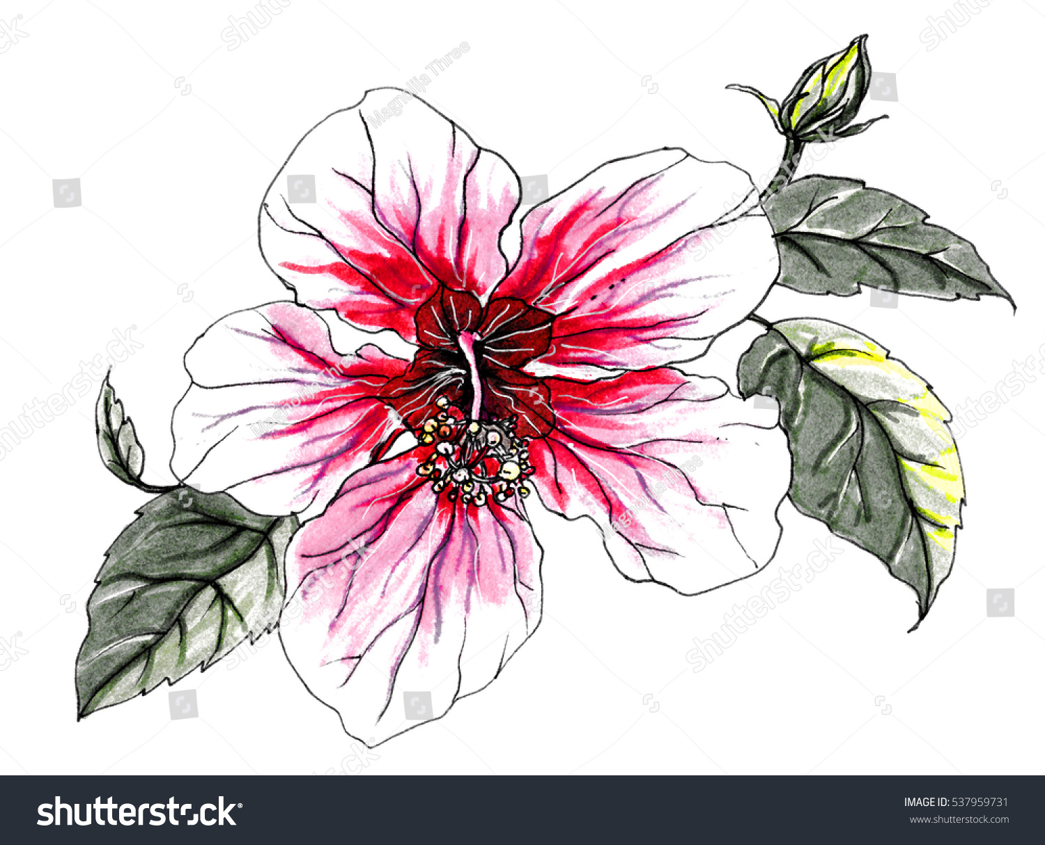 Pink White Hibiscus Flower Bouquet Hand Stock Illustration 537959731 ...