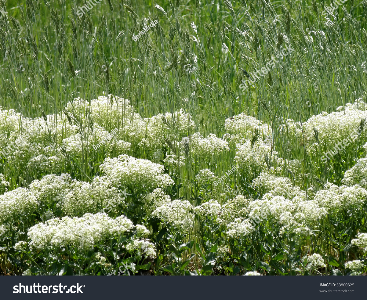 Field Grass White Flowers Wheat Stock Photo Royalty Free 53800825