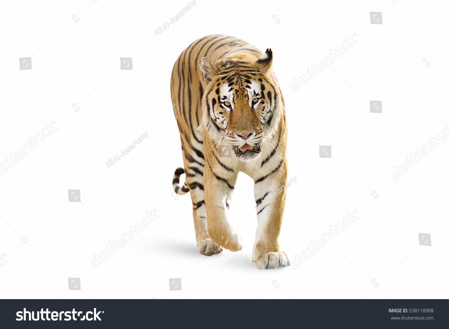 stock-photo-aggressive-bengal-tiger-stan