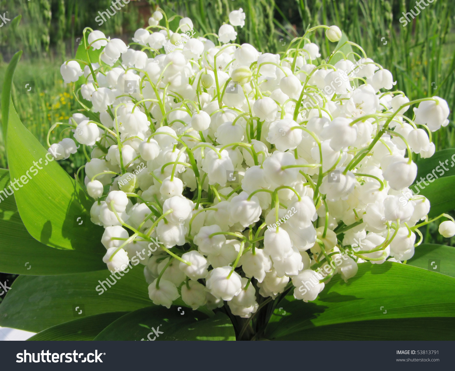 Bouquet lily valley field flowers on stock photo edit now 53813791 bouquet of lily of the valley field flowers on natural background izmirmasajfo