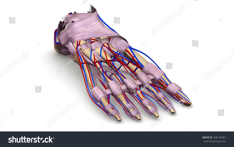 Foot Bones Ligaments Blood Vessels Prespective Stock Illustration