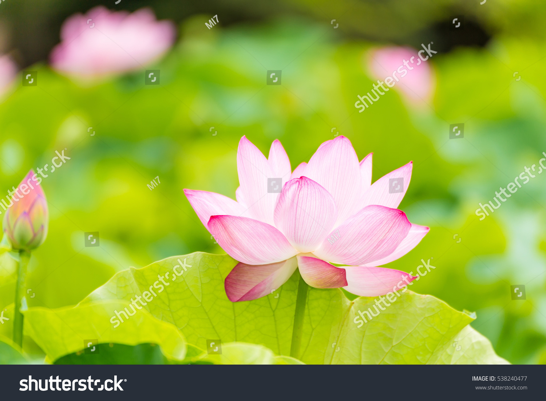 Lotus flowerbackground lotus leaf lotus flower stock photo download the lotus flowerckground is the lotus leaf and lotus flower and lotus bud and izmirmasajfo