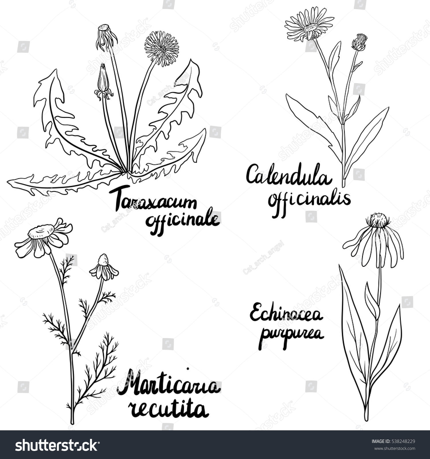 Line Drawing Coneflower : Vector set hand drawn medical herbs stock