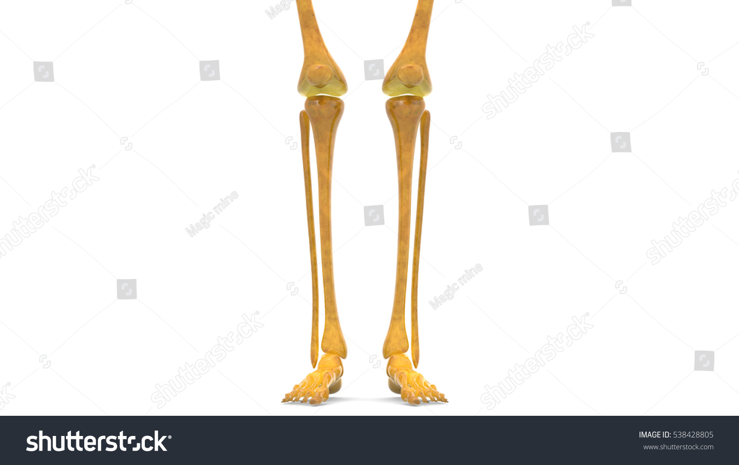 Human Skeleton Leg Joints Anatomy Femur Stock Illustration 538428805 ...