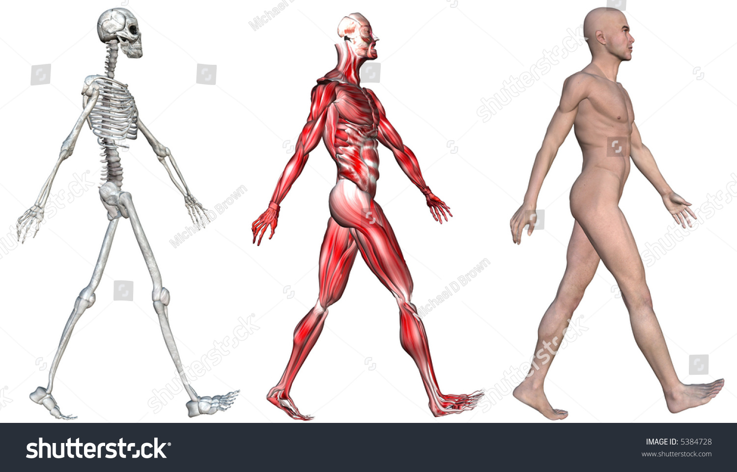 anatomical illustration skeleton muscles walking human stock, Skeleton