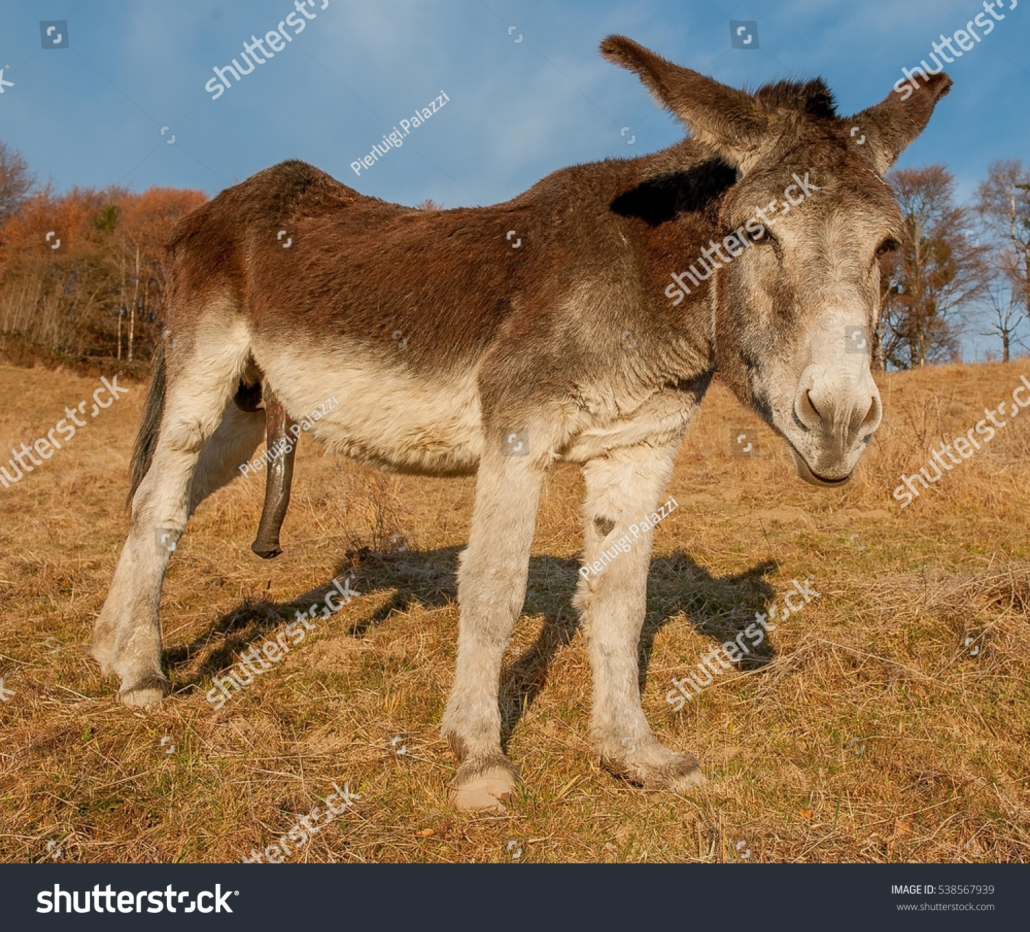 pictures of donkey penis
