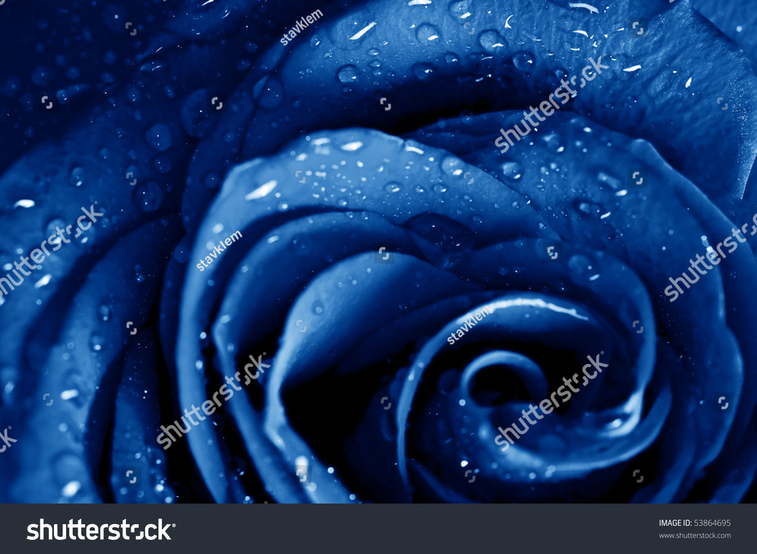 Beautiful blue roses with water drops