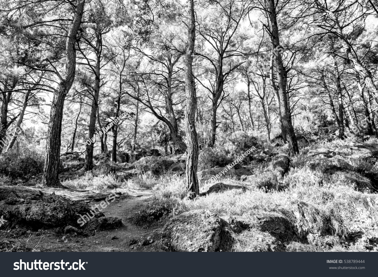 Beautiful scenery in the pine forest black and white image