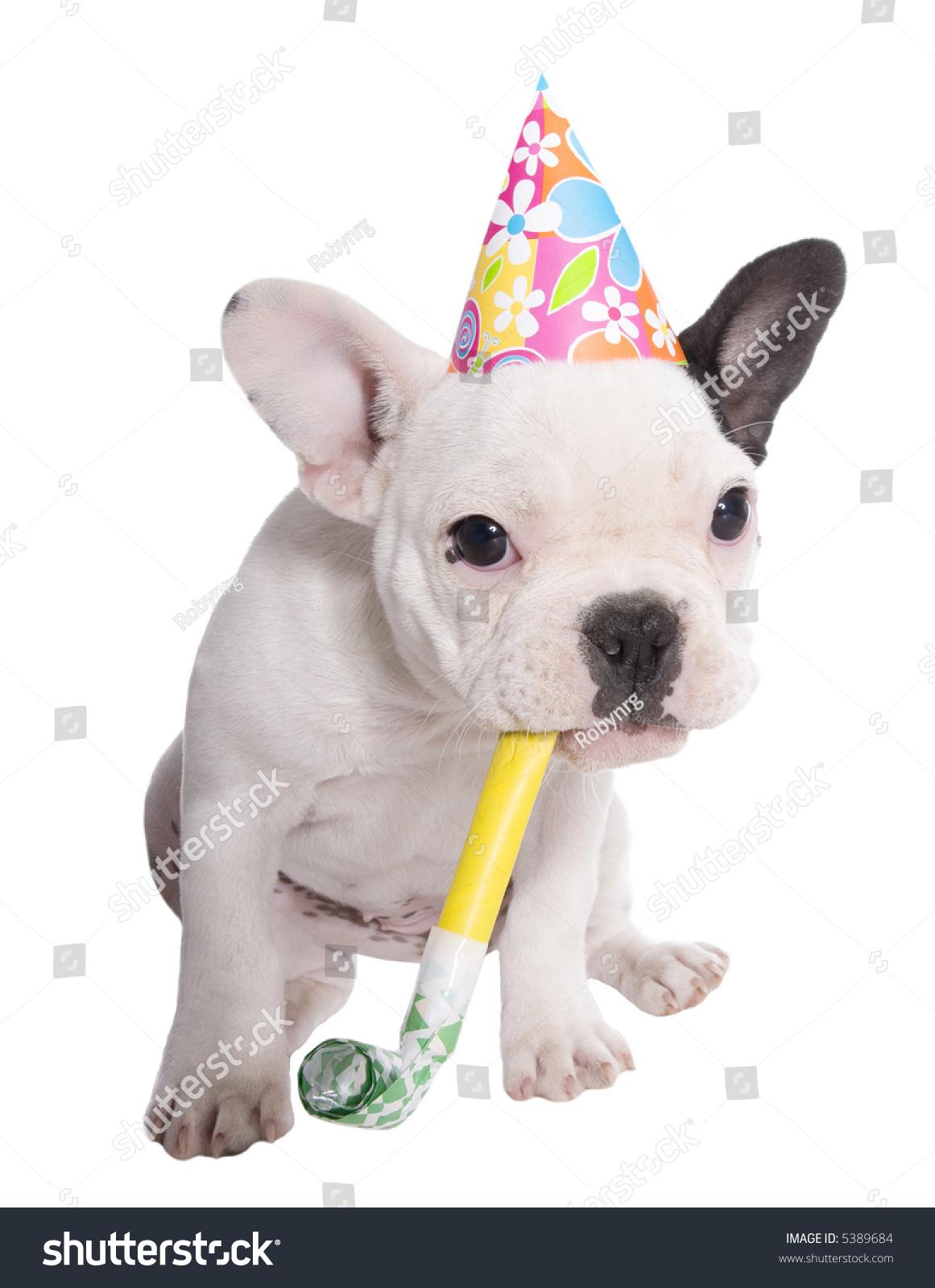 White Black French Bulldog Puppy Birthday Stock Photo