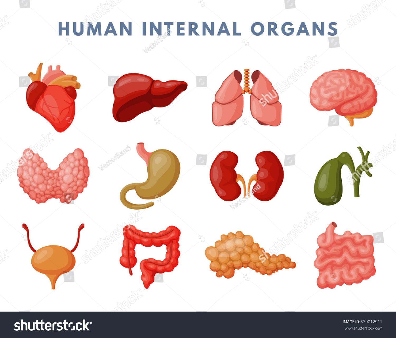 Internal Organs Vector Anatomy Human Anatomical Digestive Stock ...