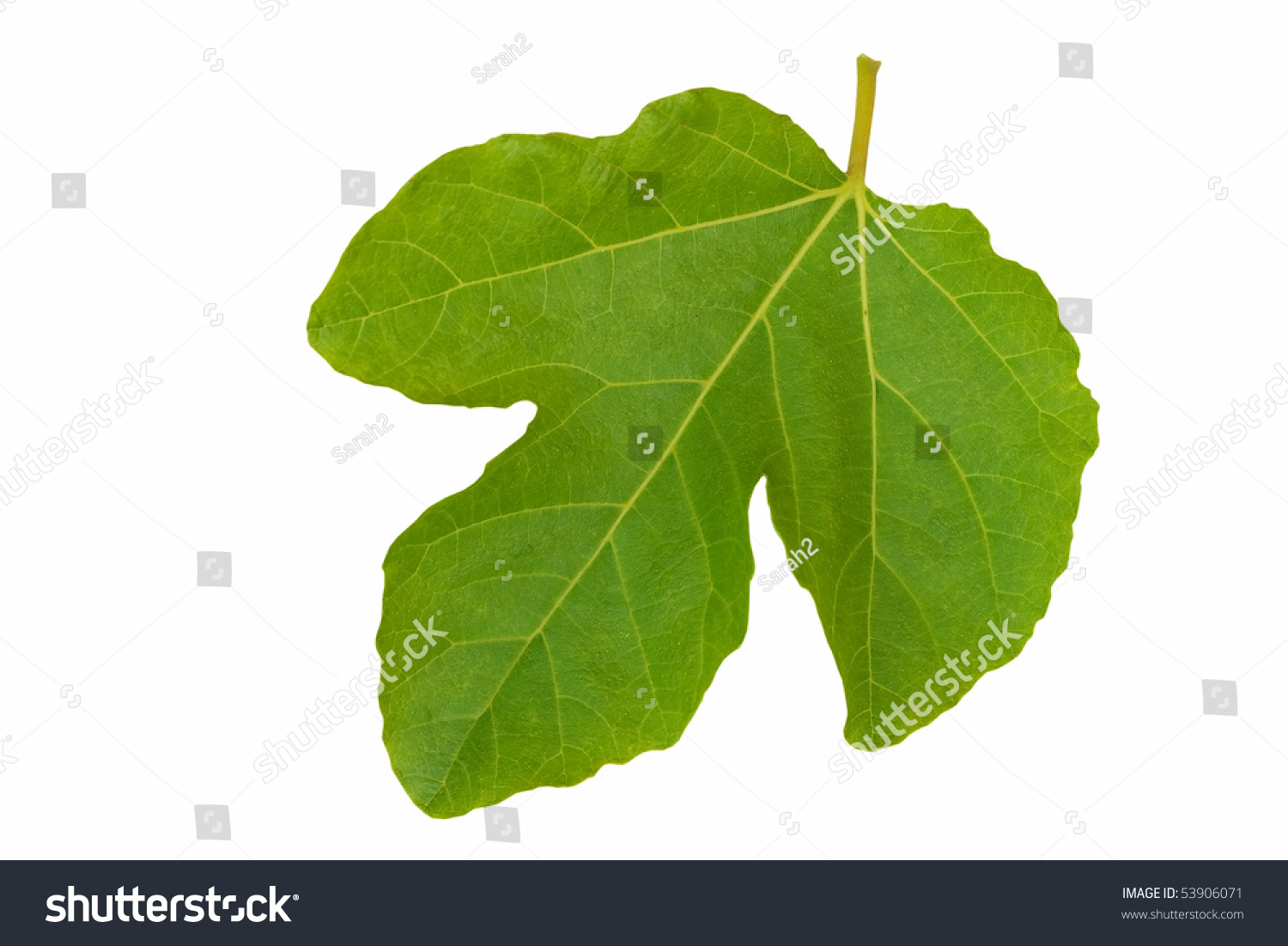 symbolic fig leaf isolated over white stock photo 53906071
