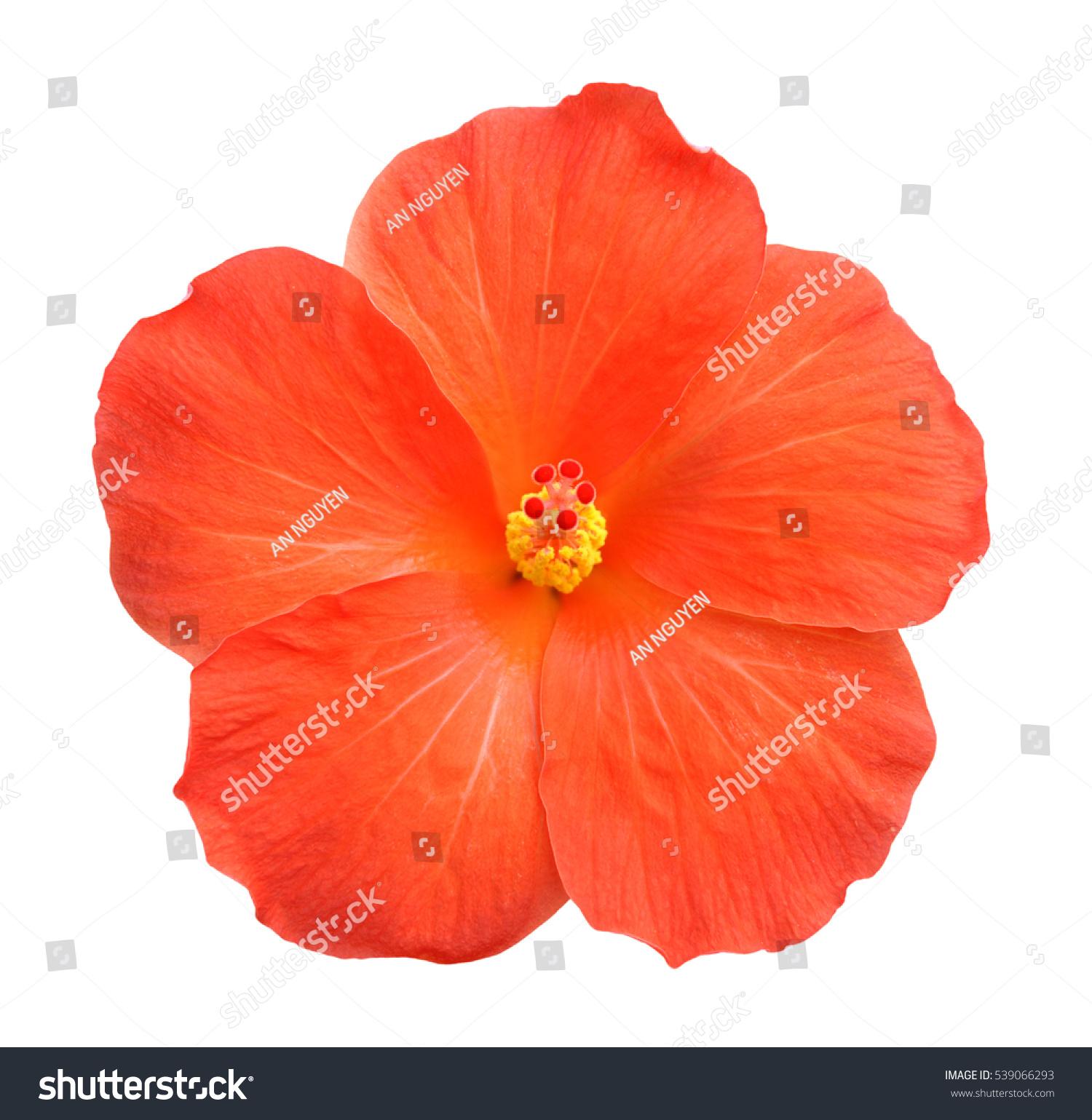 stock-photo-beautiful-single-orange-hibi