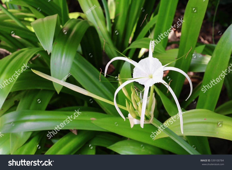 Spider lily flower white garden crinum stock photo royalty free spider lily flower white in a garden crinum asiaticum izmirmasajfo Image collections