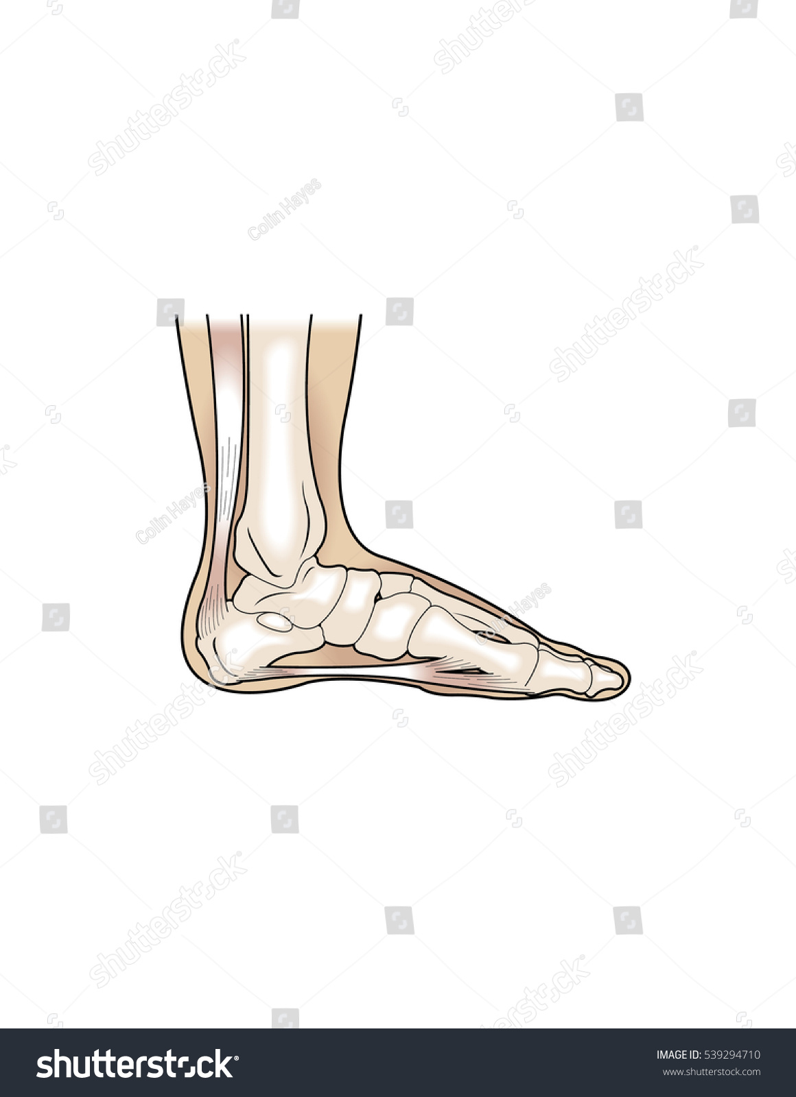 Cross Section Human Foot Showing Bones Stock Vector Royalty Free
