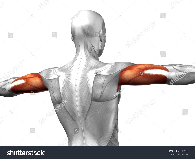 Concept Conceptual 3 D Illustration Triceps Human Stock Illustration ...