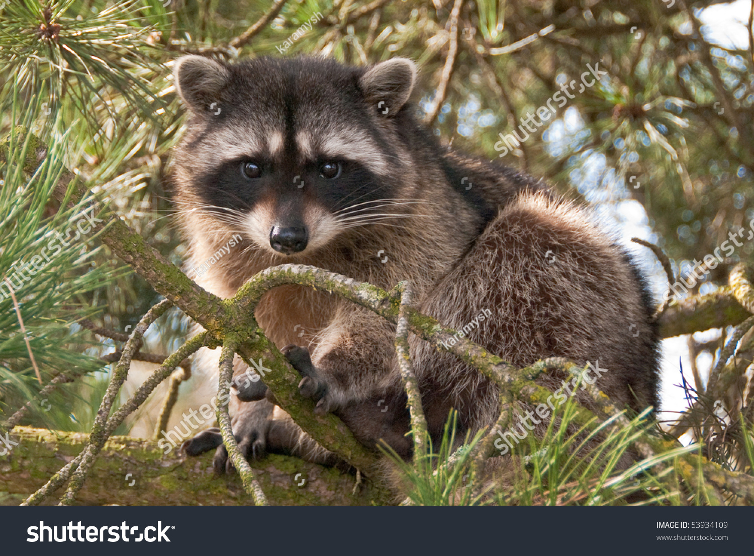 how to get raccoon out of tree