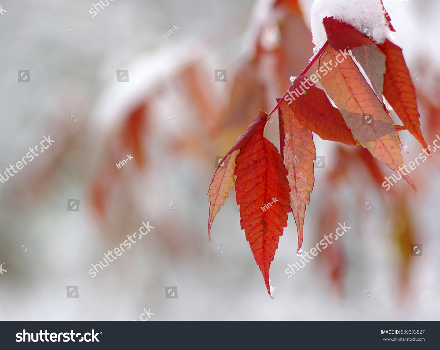 Yellow leaves in snow. Late fall and early winter. Blurred nature background with shallow dof. #539393827