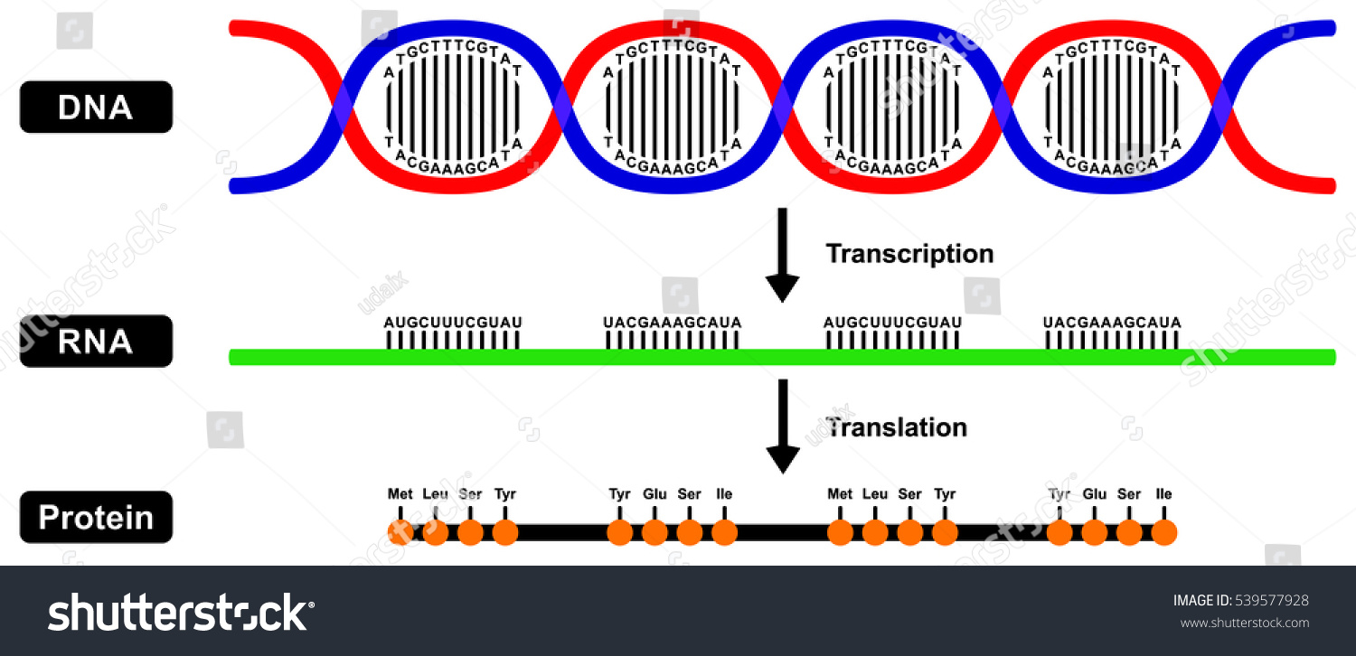 Vector formation m rna rna protein by vector de stock539577928 vector formation of mrna rna and protein by dna strand in two stages transcription and translation malvernweather Gallery