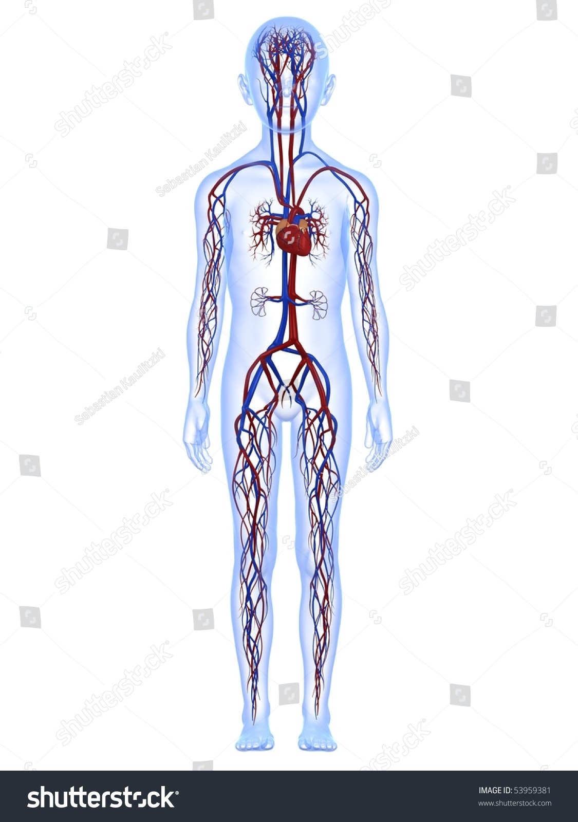 Male Child Anatomy Vascular System Stock Illustration 53959381 ...