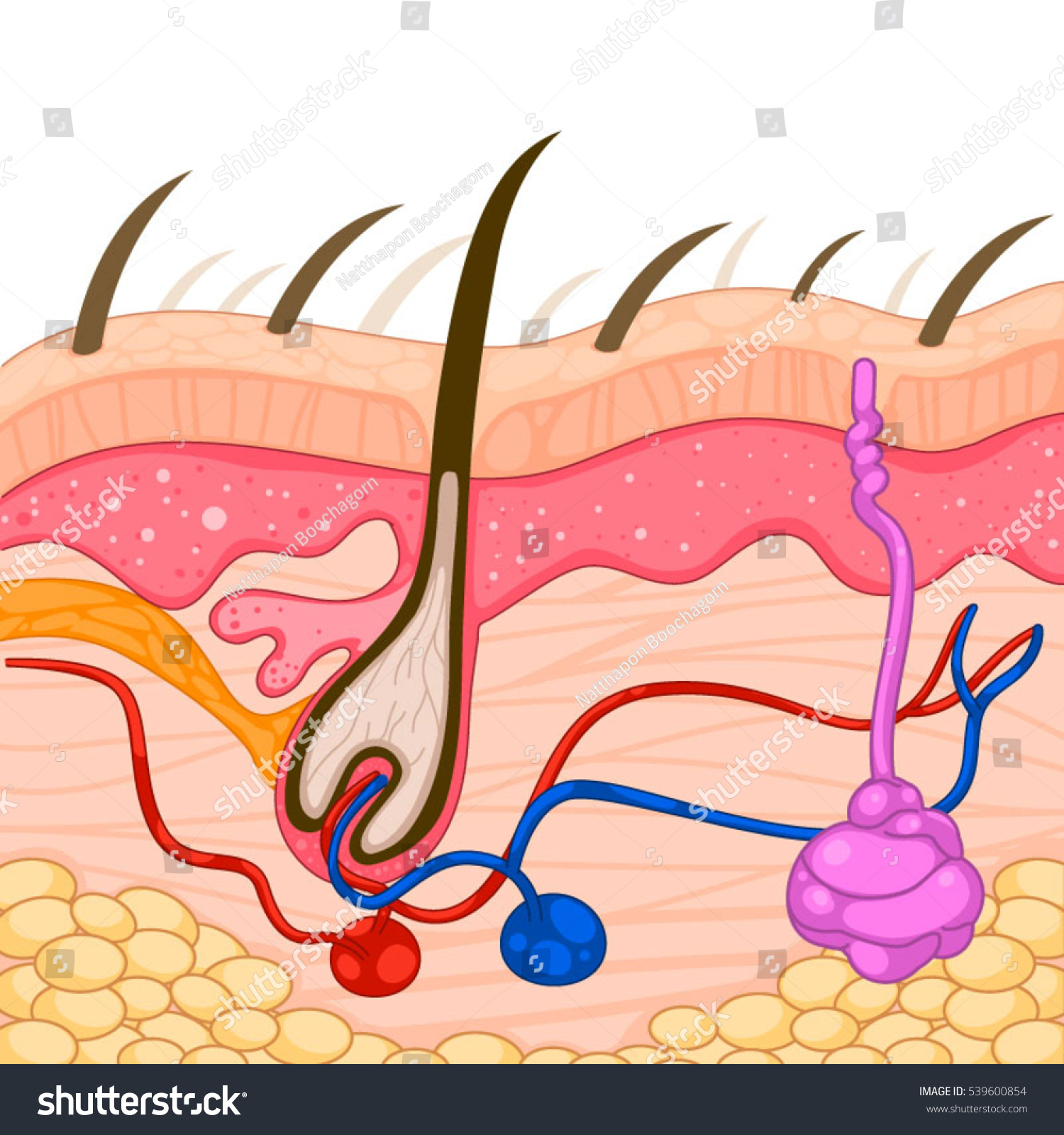 Skin layer diagram stock vector 539600854 shutterstock skin layer diagram pooptronica Image collections