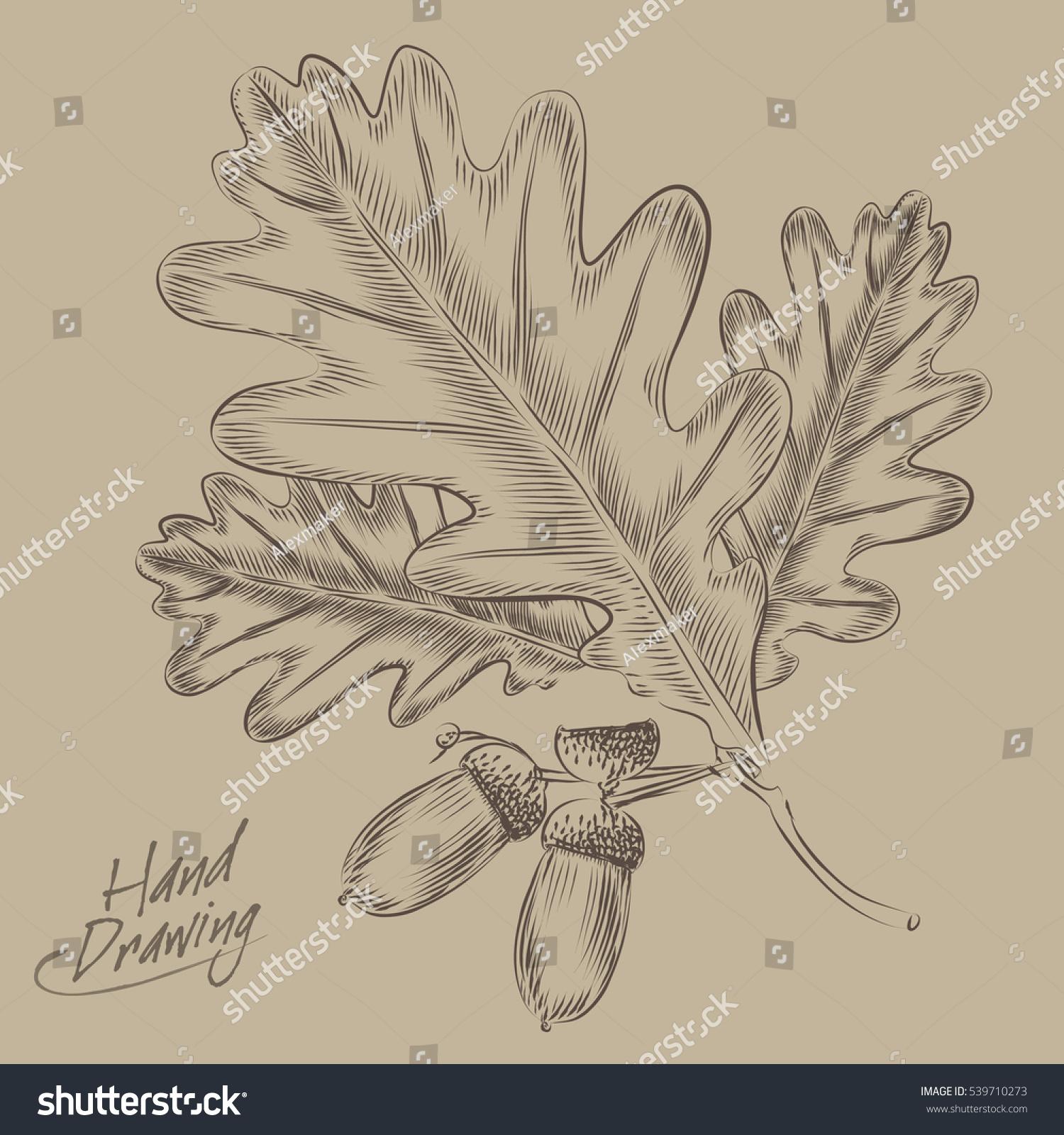 hand drawing oak leaves acorns vector stock vector 539710273