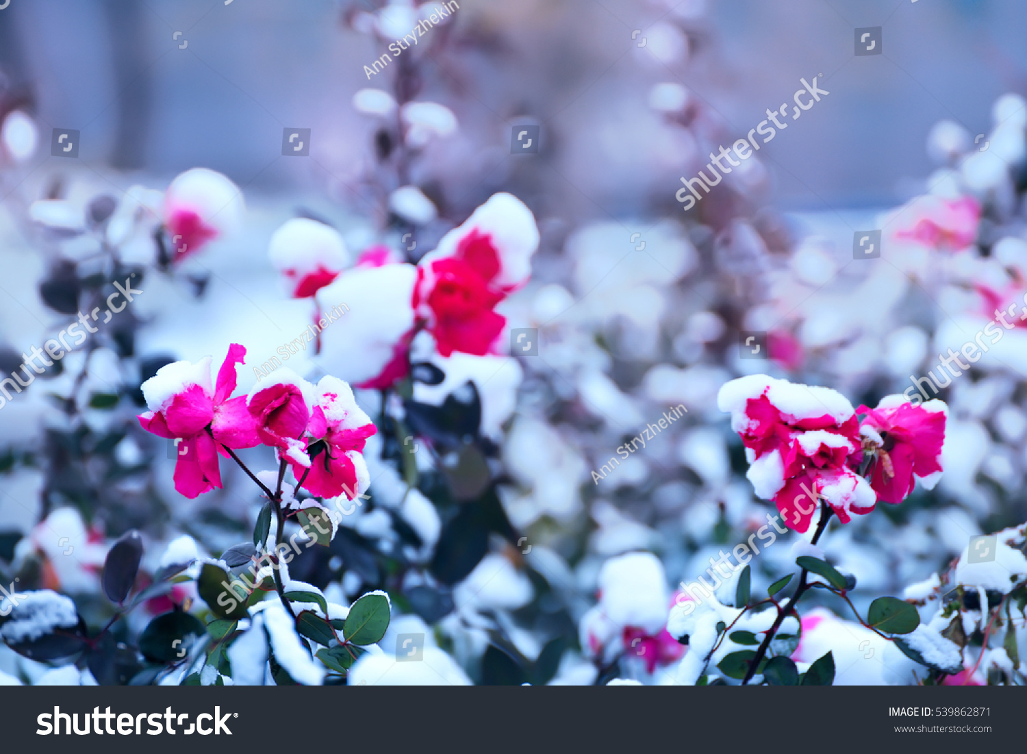 Red roses beautiful flowers covered fluffy stock photo edit now red roses beautiful flowers covered with fluffy snow beautiful winter background izmirmasajfo