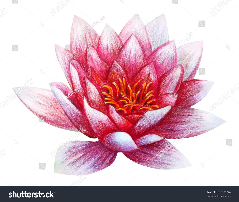 Lotus Flower Drawing Nelumbo Stock Illustration 539881246 Shutterstock