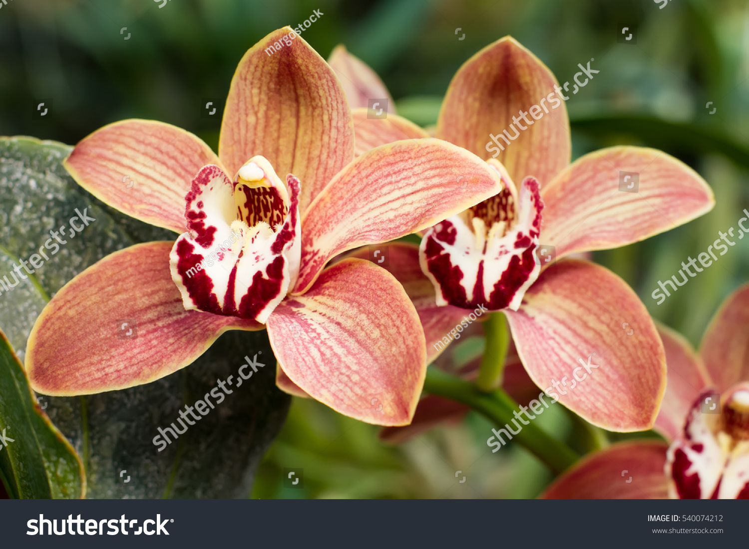 Rare orchid flowers beautiful orchid flowers stock photo edit now rare orchid flowers beautiful orchid flowers izmirmasajfo