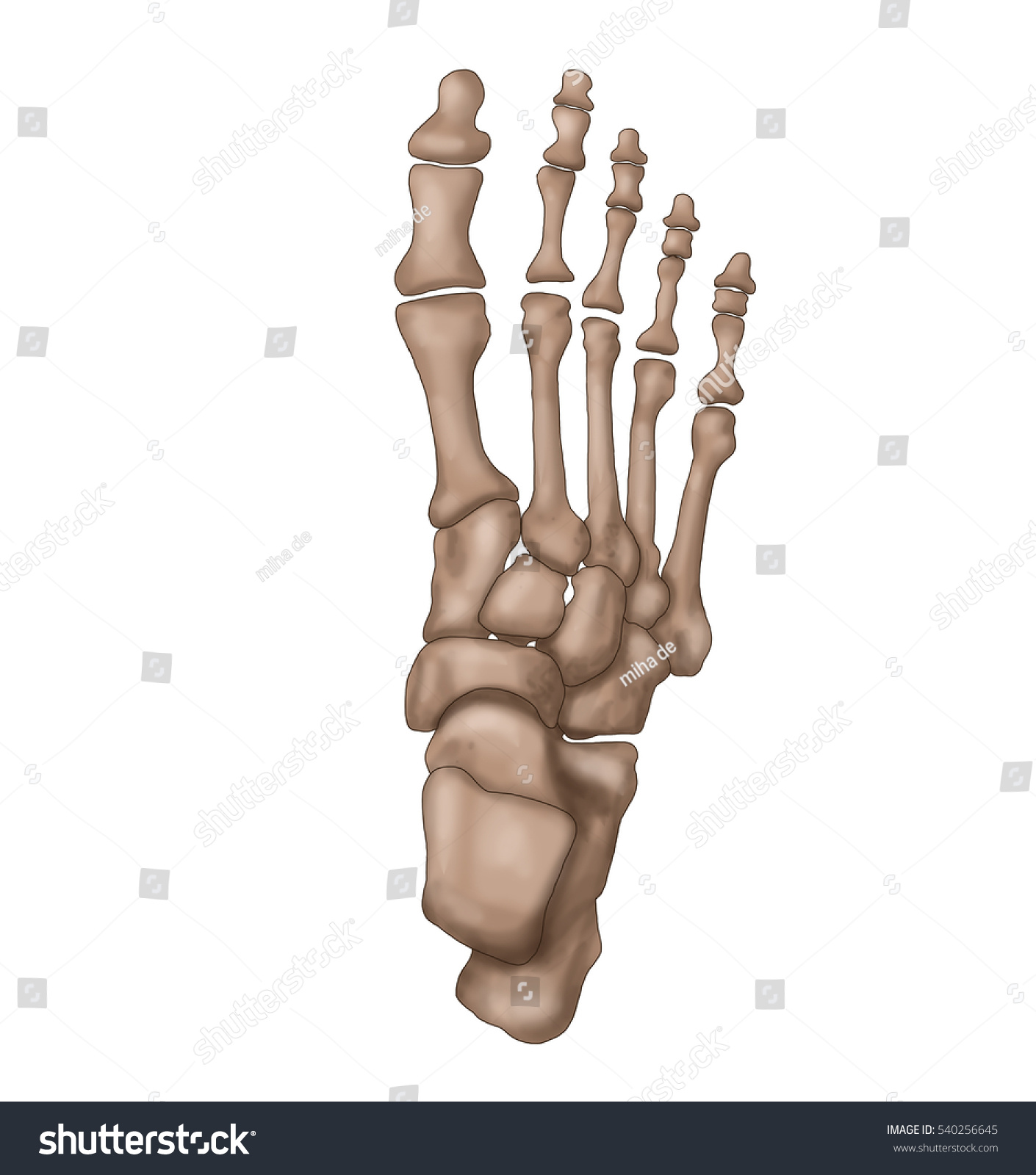 Foot Anatomy Foot Bones Stock Illustration 540256645 - Shutterstock