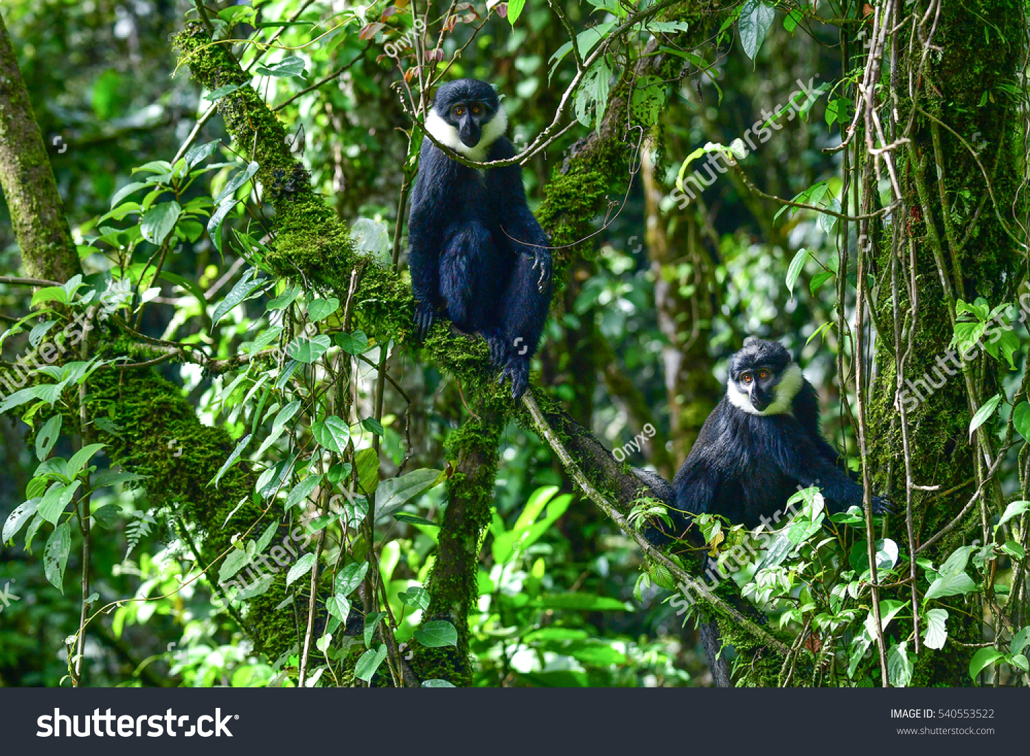 Lhoests monkey cercopithecus l hoesti tropical stock photo royalty the lhoests monkey cercopithecus l hoesti in tropical rainforests of africa sciox Image collections