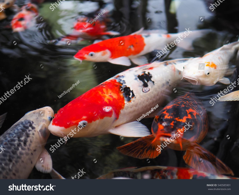 Beautiful koi fish pond garden stock photo 540585901 for Beautiful koi fish