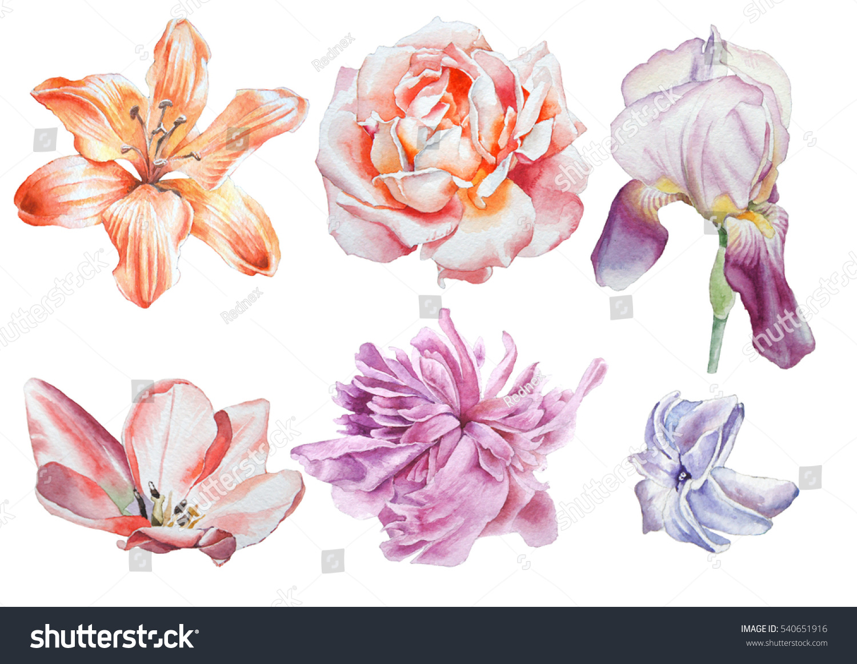 Set Flowers Rose Iris Lily Peony Stock Illustration 540651916