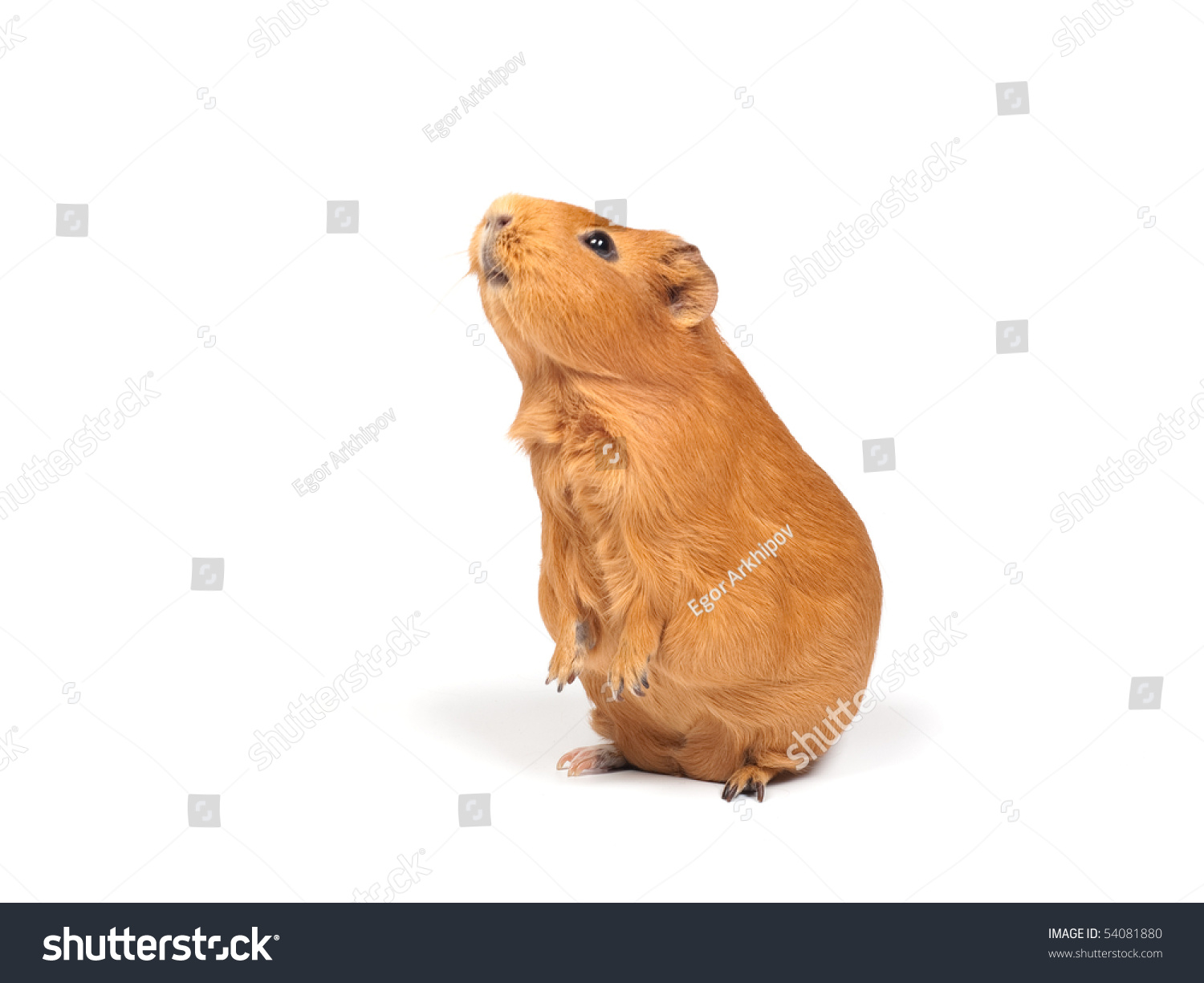 Guinea pig stands on its hind legs ramps isolated on for Guinea pig stand