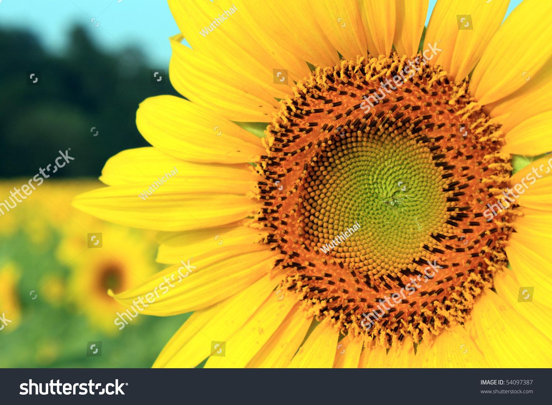 svenska amatörporr sunflower thai