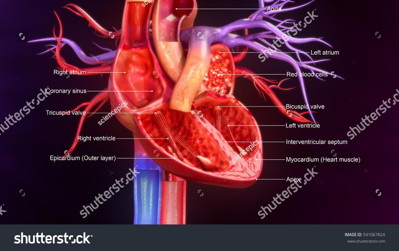 Human Heart Anatomy 3 D Illustration Stock Illustration 541067824 ...