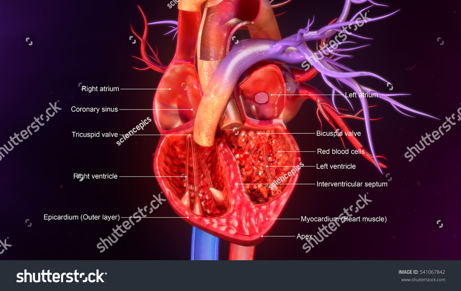 Human Heart Anatomy 3 D Illustration Stock Illustration 541067842 ...