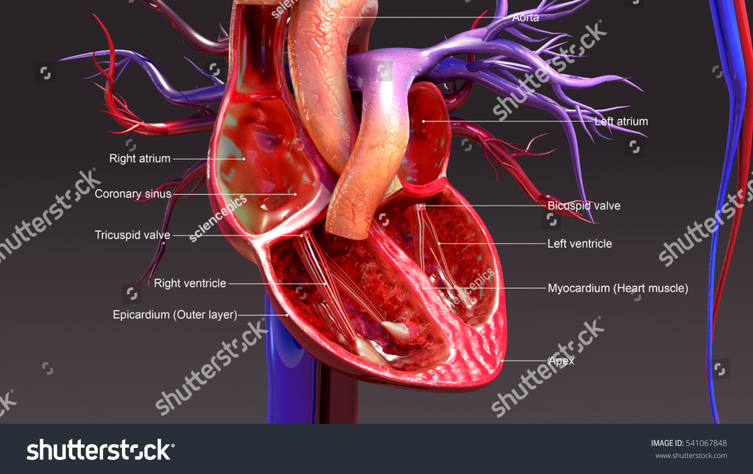 Human Heart Anatomy 3 D Illustration Stock Illustration 541067848 ...