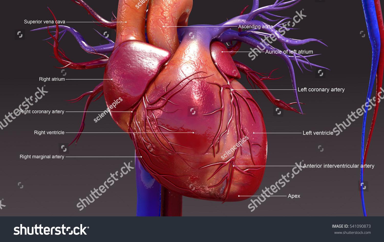 Human Heart 3 D Illustration Stock Illustration 541090873 Shutterstock