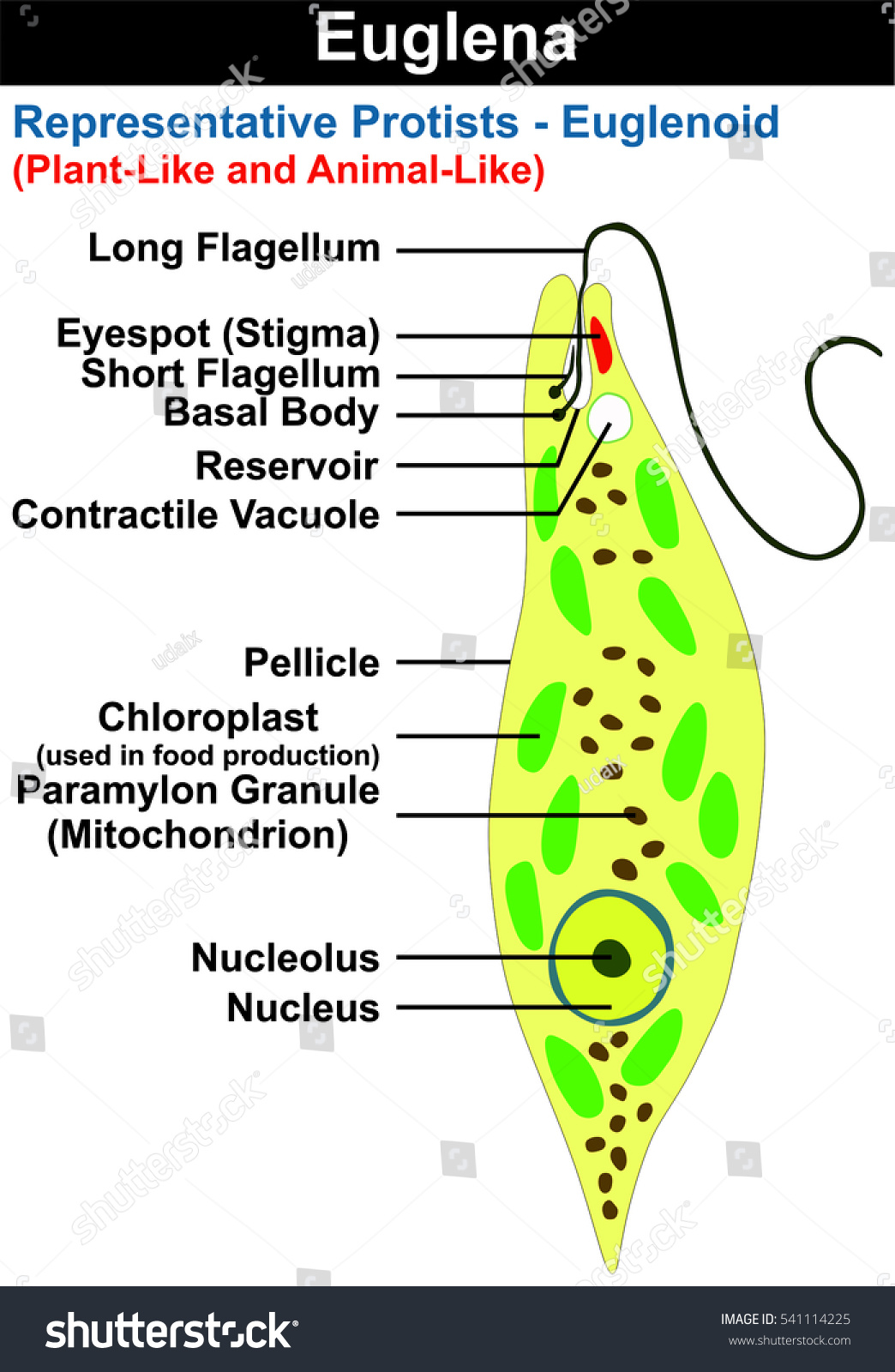 Euglena Cross Section Diagram Representative Protists Ilustración de ...