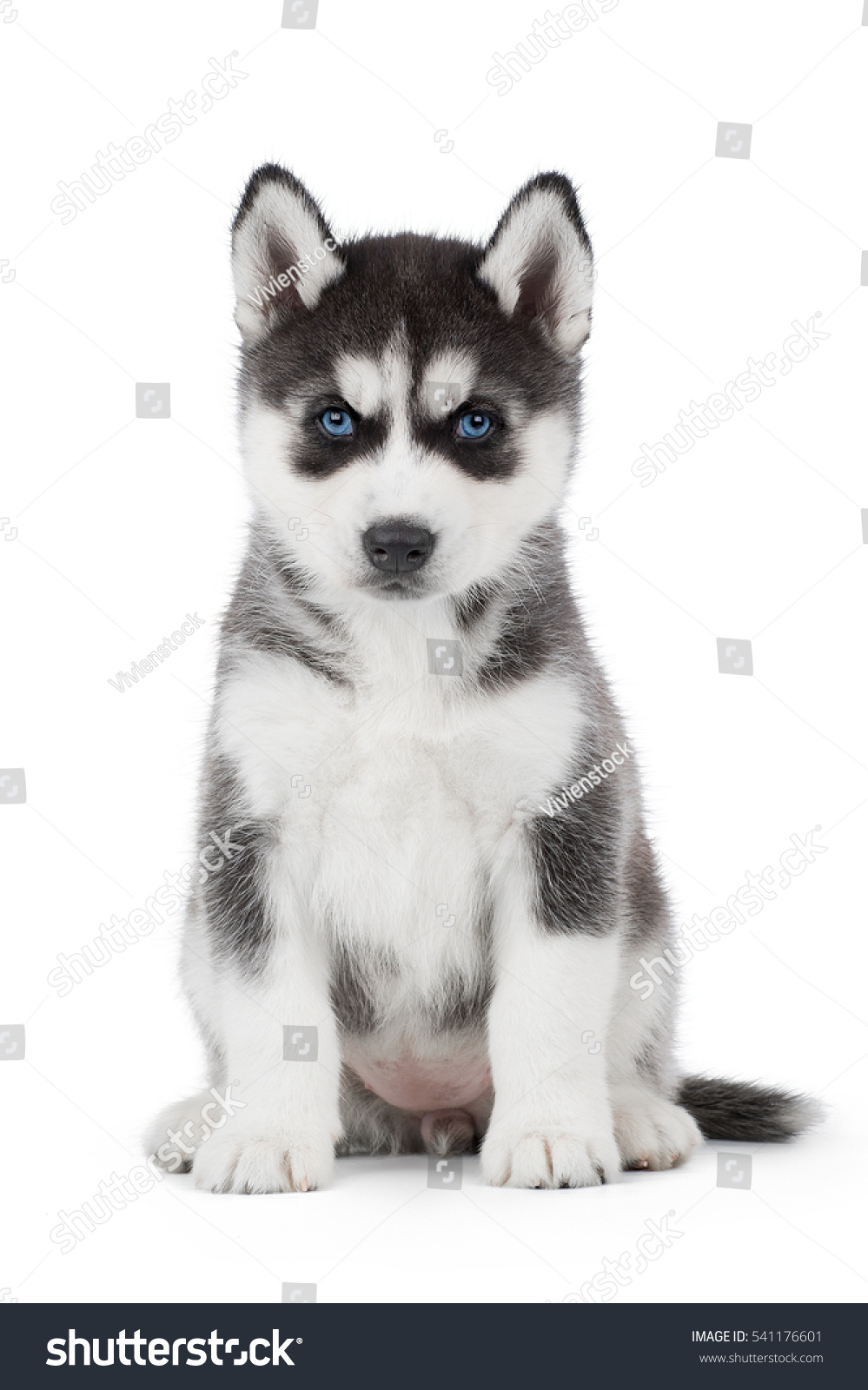 Cute puppy siberian husky black white cute puppy siberian husky black and white with blue eyes on white background in studio voltagebd Image collections