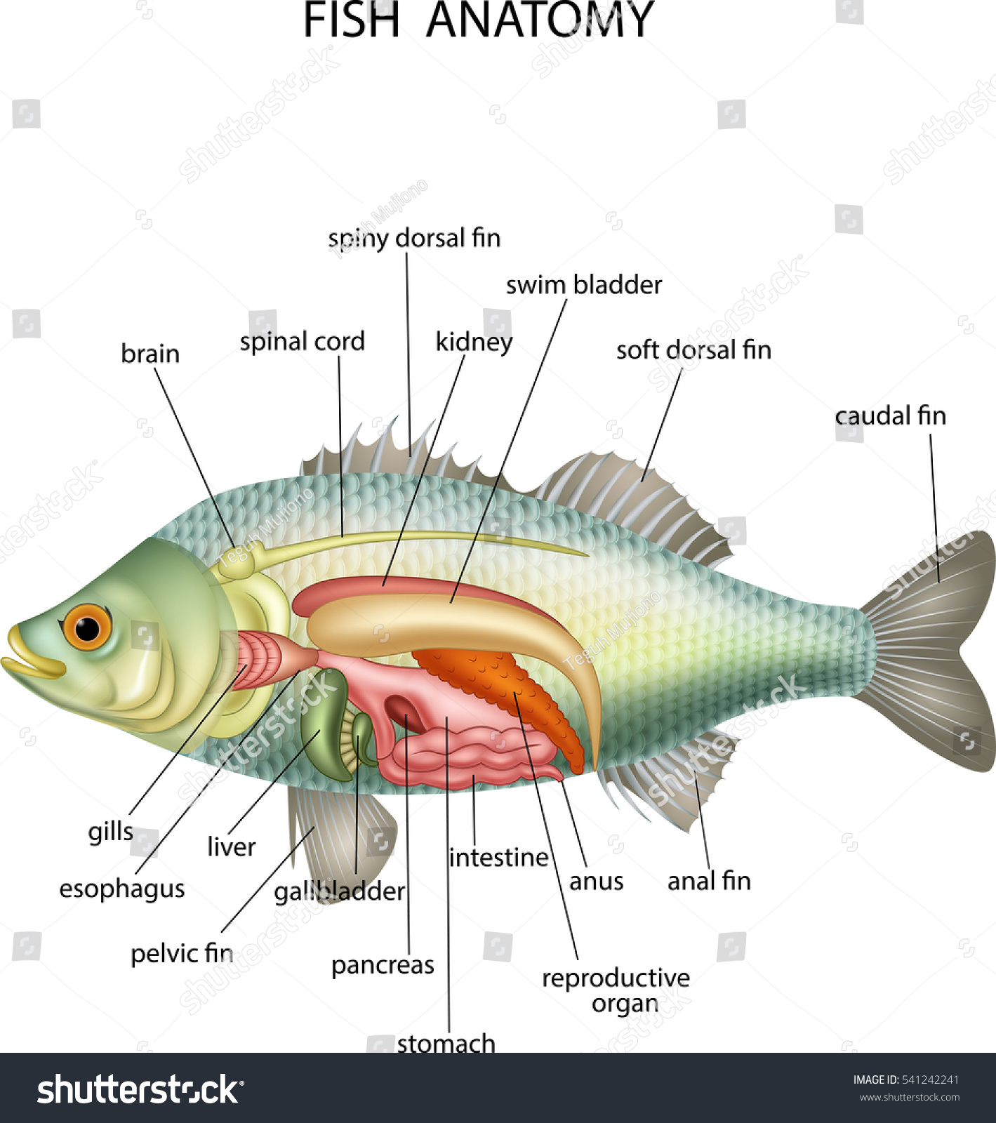 Anatomy Fish Stock Vector (Royalty Free) 541242241 - Shutterstock